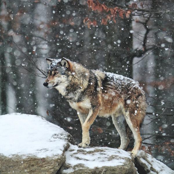 Le loup 1