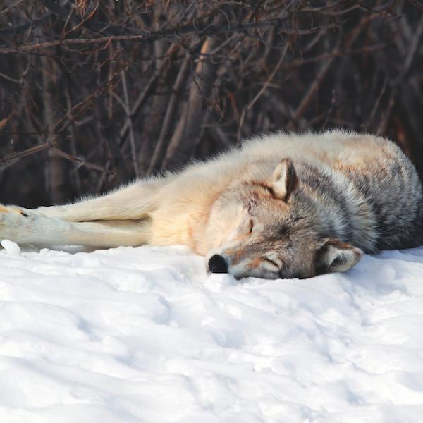 Le loup 5