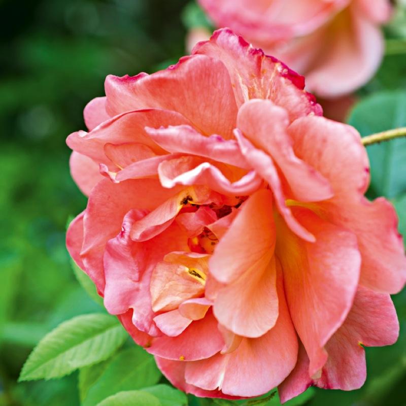roseraie 1