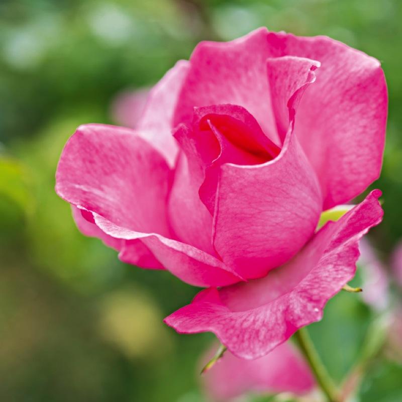roseraie 2