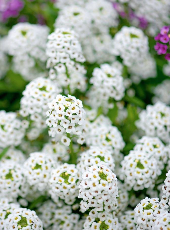 Fleurs parfumées 4