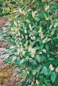 Plantes odorantes 3