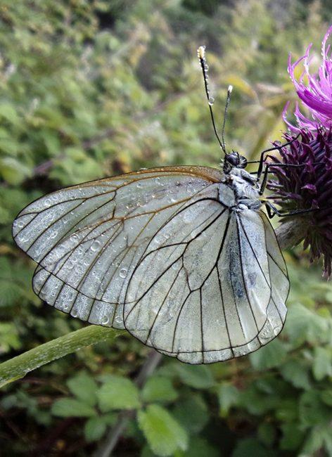 Papillons : comment les reconnaître ?