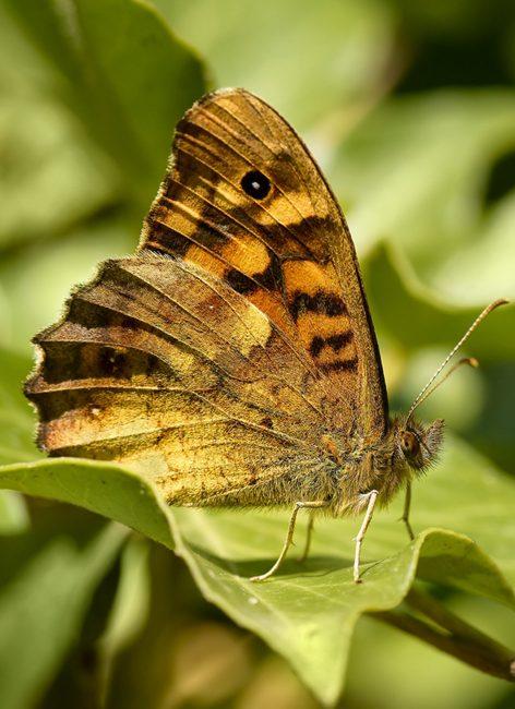 Papillons : comment les reconnaître