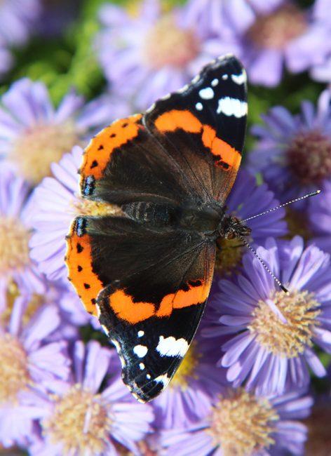 Papillons : comment les reconnaitre ?