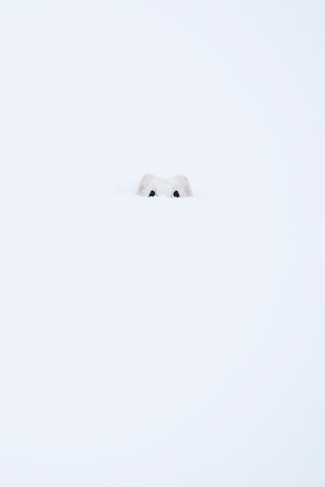 Hermine-cachée-dans-la-neige