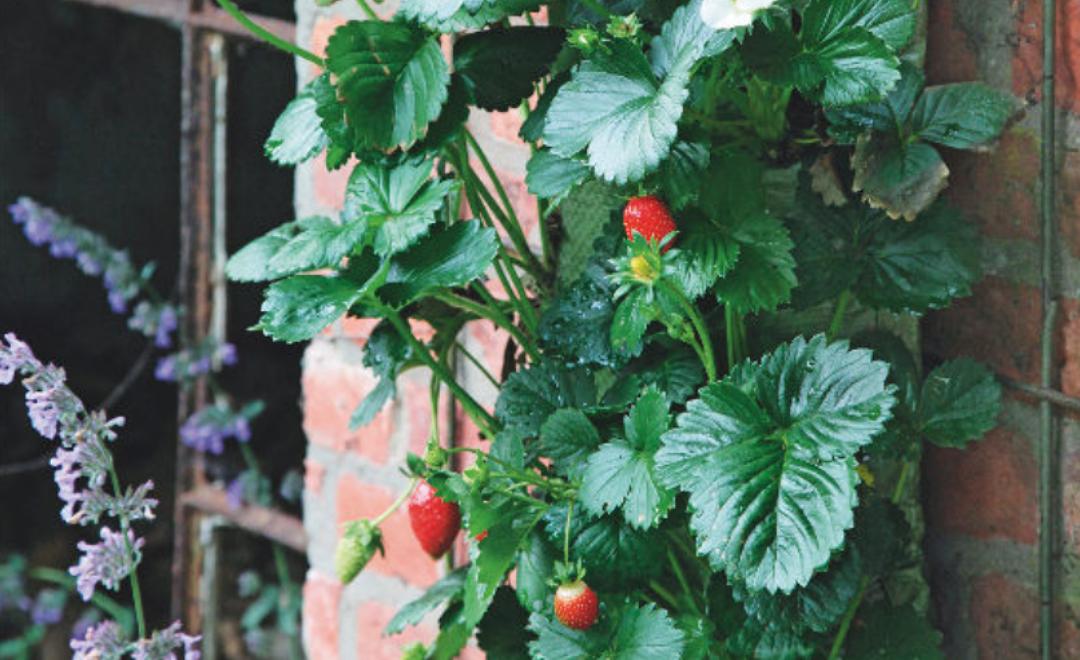 Découvrez notre tutoriel pour cultiver des fraises dans un mini potager vertical en recyclant des sacs de terreau vides !