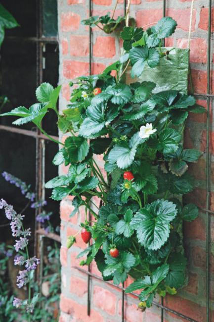 cultiver des fraises