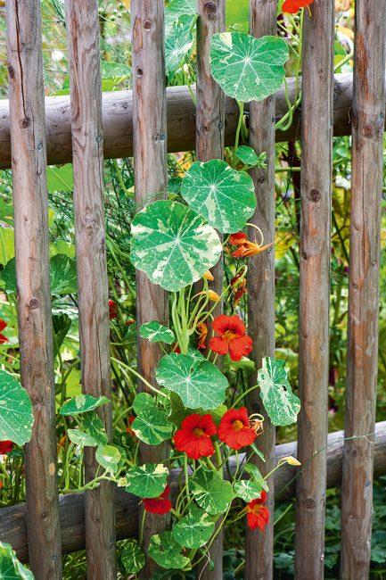 Fleurs grimpantes d'été à planter dans son jardin