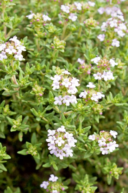 Jardin d'herbes : 12 aromatiques indispensables à planter dans son jardin