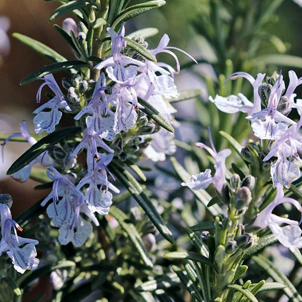 Jardin d'herbes : 12 aromatiques indispensables