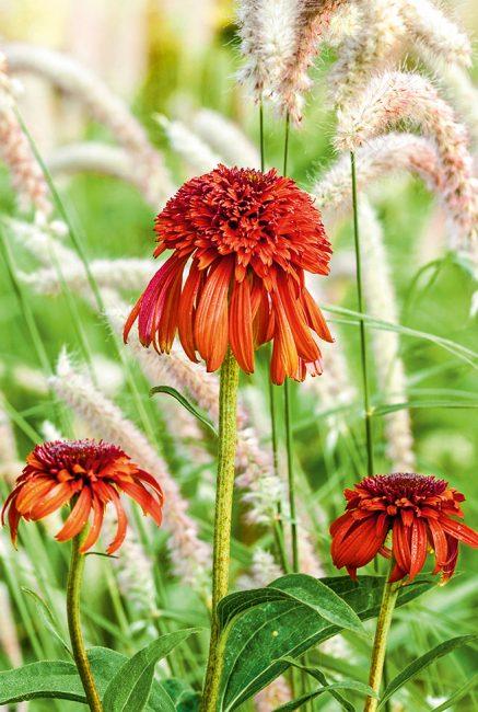 L'échinacée, cette fleur d'automne