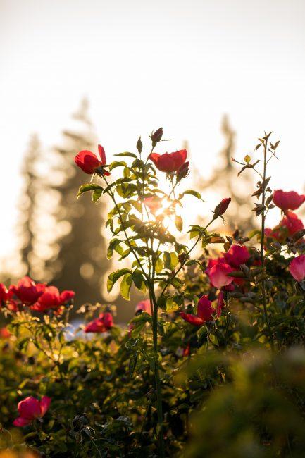 Quelles roses planter dans son jardin d'été