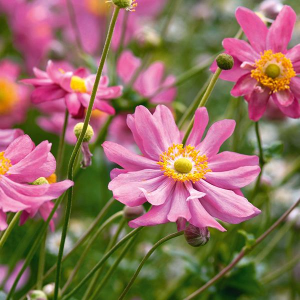 L'anémone : cette élégante fleur d'automne à planter dans son jardin