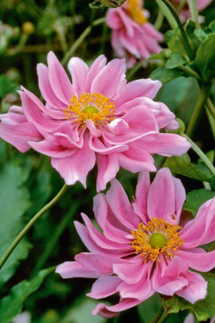 L'anémone, cette fleur d'automne à planter dans votre jardin