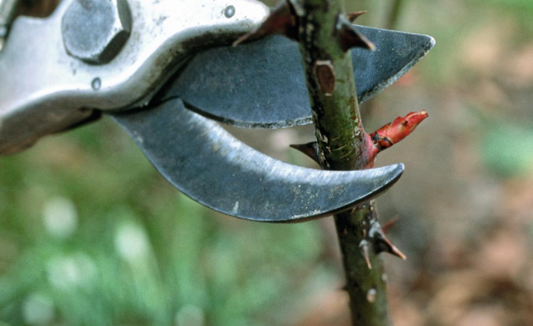 Bien tailler ses arbustes avant le printemps