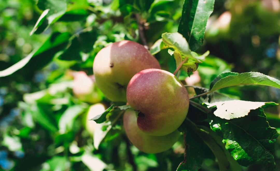 Comment bien tailler ses arbres fruitiers avant le printemps