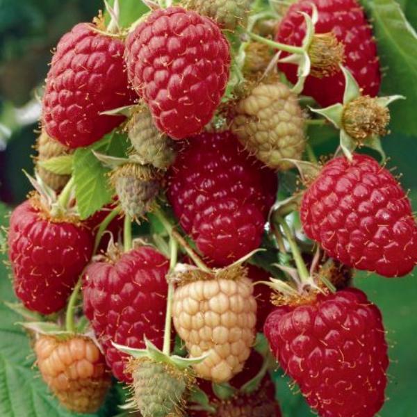 Comment faire pousser des fruits rouges facilement ?