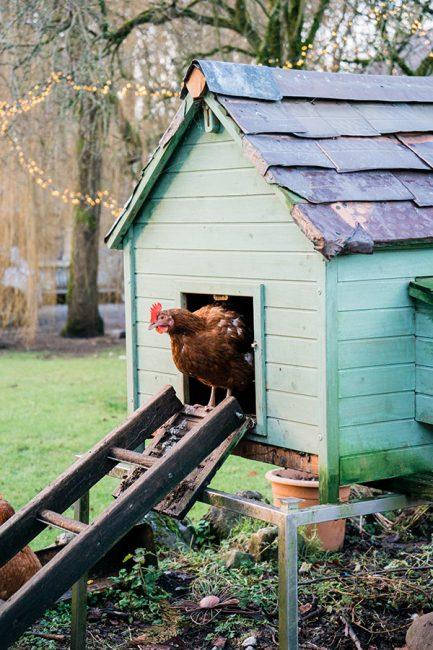 conseils pour adopter des poules